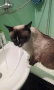 Пропала кошка сиамская в Бресте